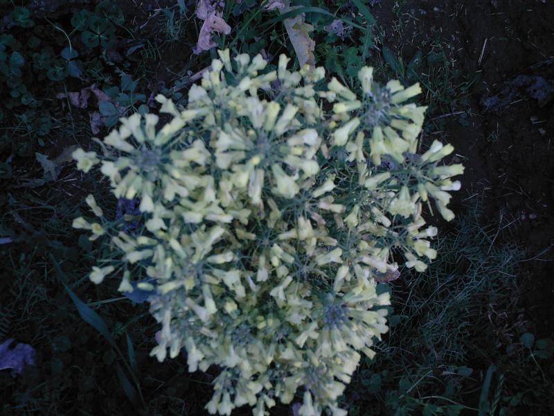 Brokoli Çiçeği