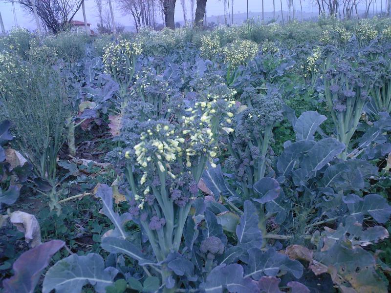 Brokoli Çiçekte
