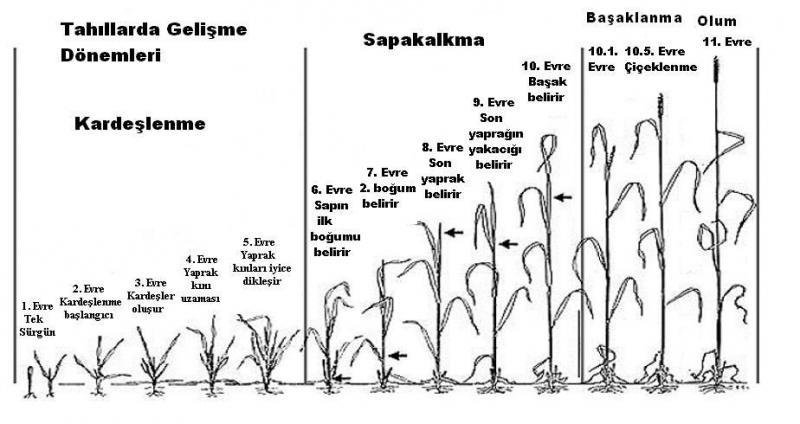 Tahıllarda Gelişme