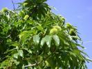 Kestane Meyvesi