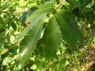 Kestane Yaprağı