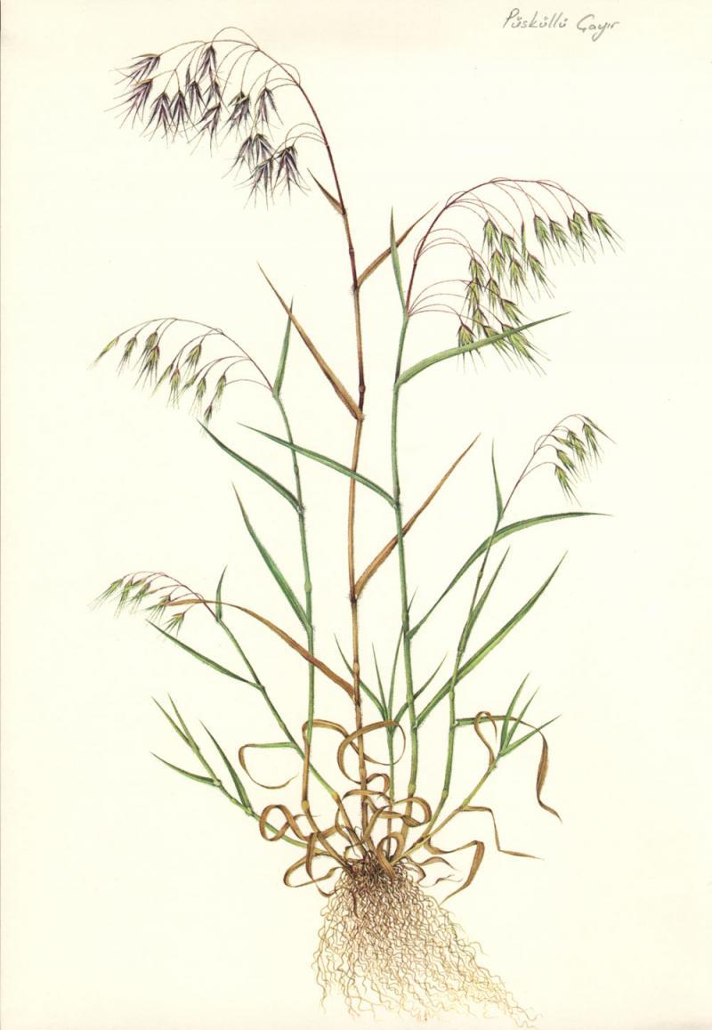 Bromus tectorum