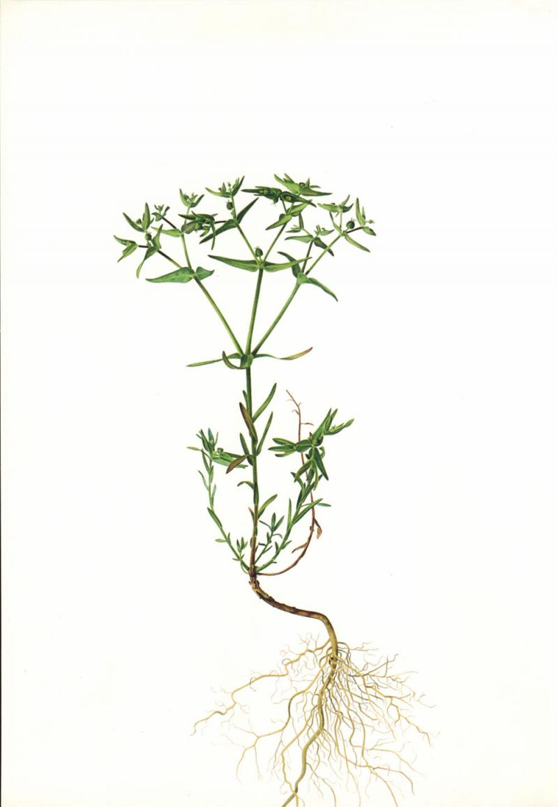 Euphorbia exigua