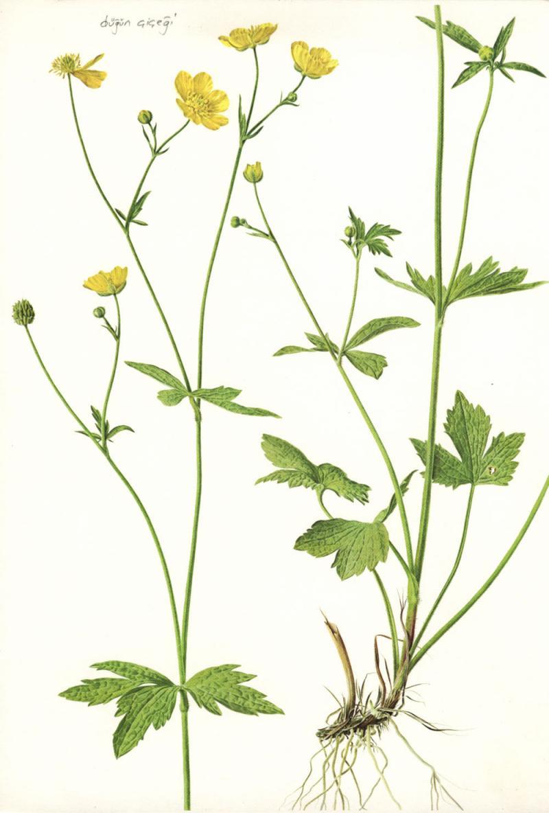 Ranunculus friesianus