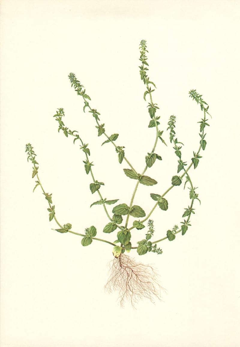 Veronica arvensis