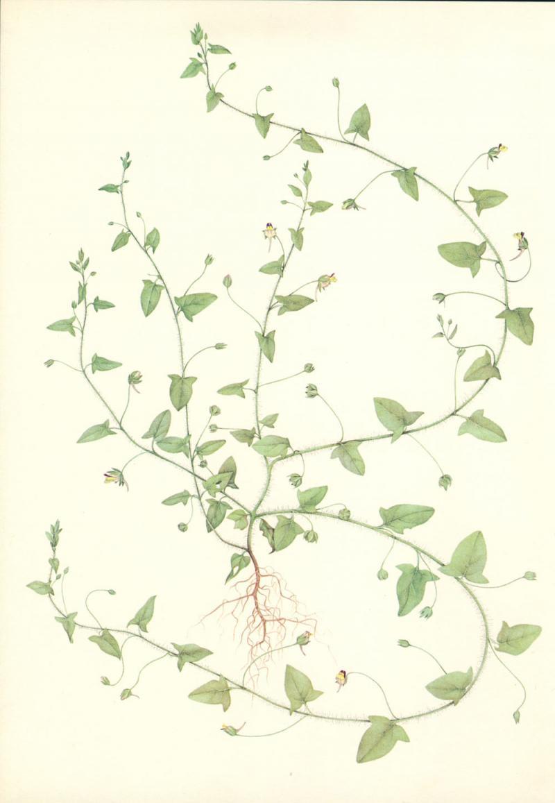 Linaria elatine