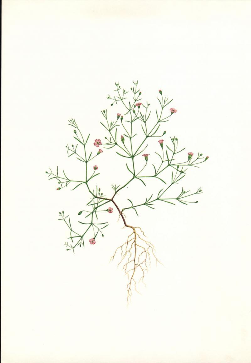 Gypsophila muralis