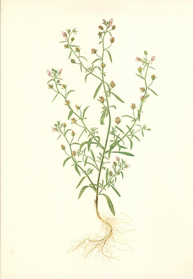 Linaria minor