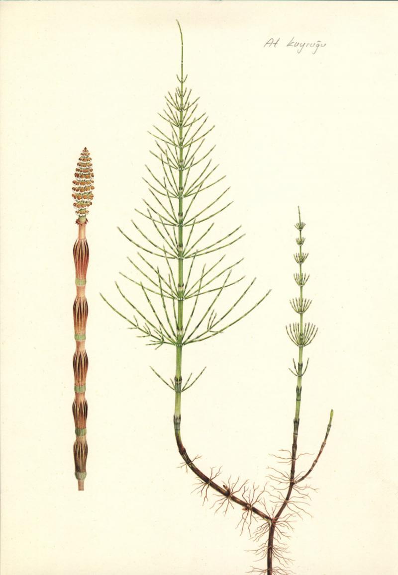 Equisetum arvense