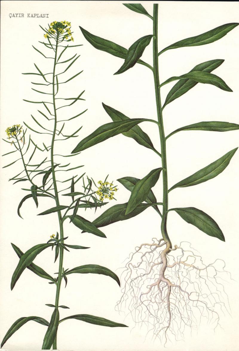 Erysimum cheiranthoides