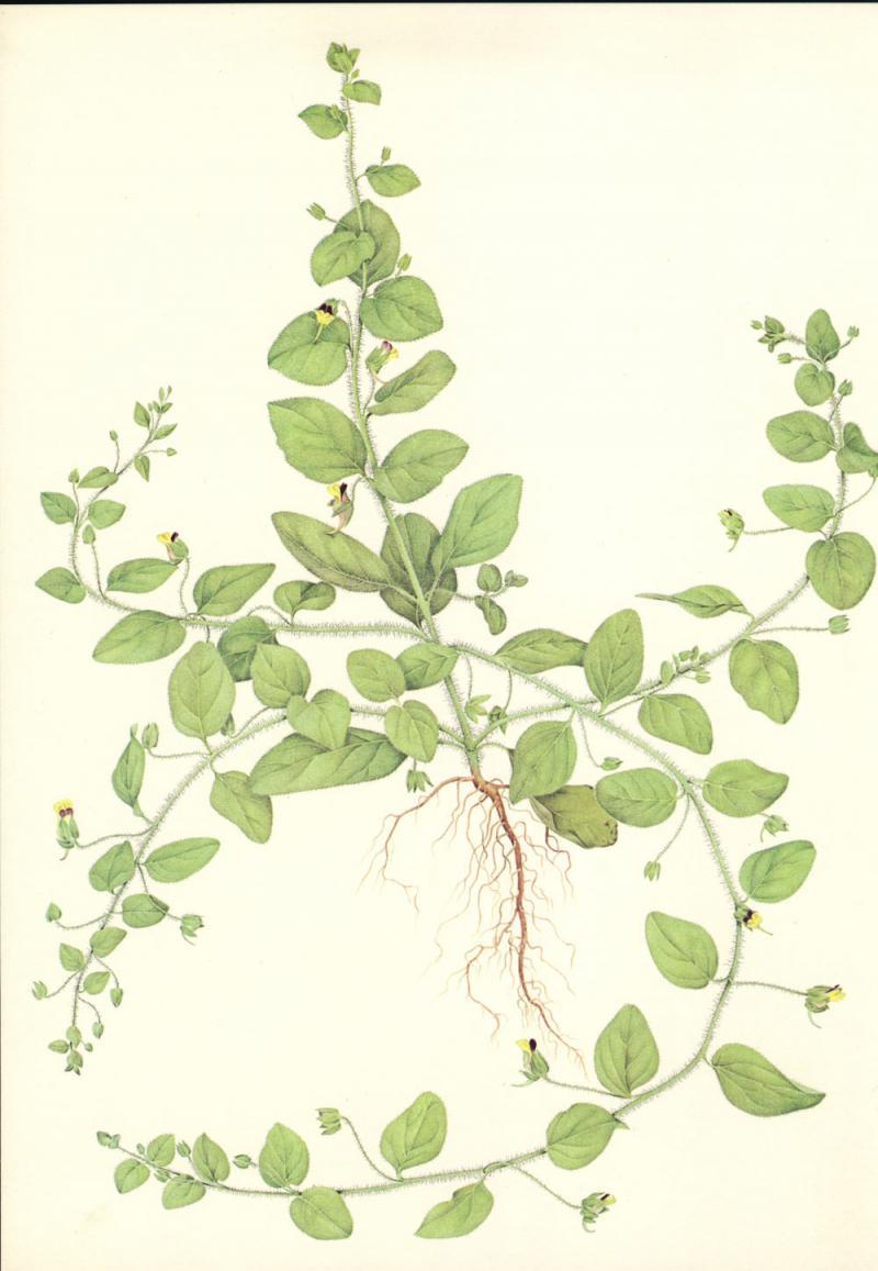 Linaria spuria